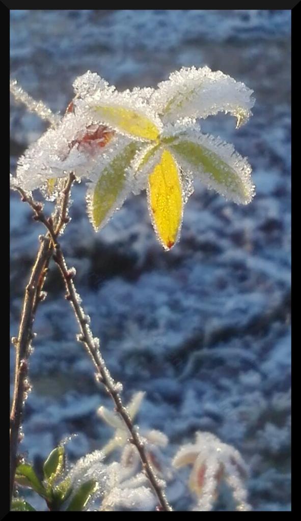 Winterblume überzogen mit Eis und Schnee